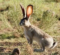 Desierto de Sonora: Gila Lepus-californicus