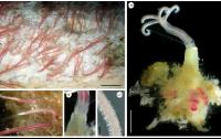 La especie nueva Osedax antarcticus. a) Ejemplares vivos en el hueso tal y como e observan tras su recuperación del fondo marino (barra: 1 cm); b) ejemplar completo, con los palpos, el oviducto, el tronco y la raíz (barra: 2 mm); c) detalle de lo palpos en un ejemplar vivo; d) detalle del collar; e) micrografía de un palpo (barra: 250 mm).