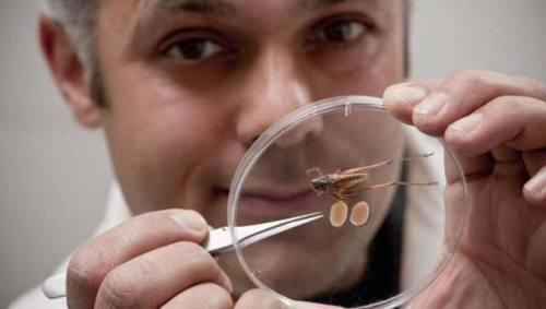 El doctor Karim Vahed muestra los testículos de Platycelis affinis