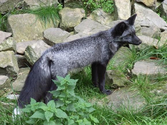 Vulpes vulpes (Foto: Wikipedia)
