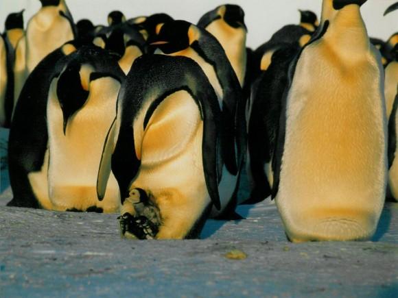 Pingüinos emperadores alimentando a los pollos (foto: Eva Kröcher; Wikimedia Commons)