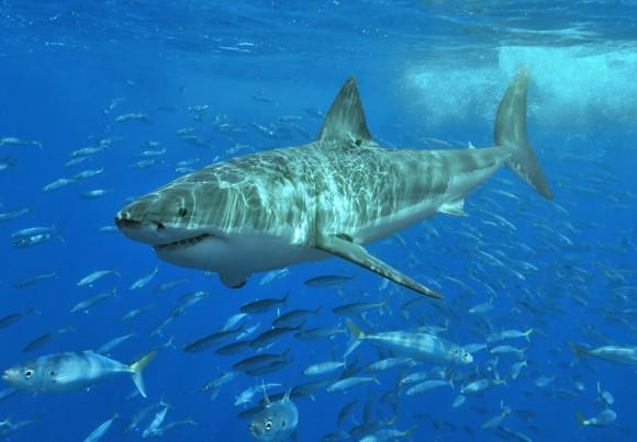 El gran tiburón blanco Foto:  Pterantula (Terry Goss) Wikimedia Commons