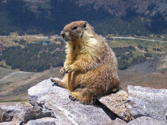 Marmota, un mamífero hibernante (Wikipedia)