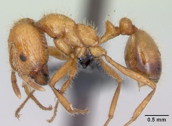 Solenopis germinata