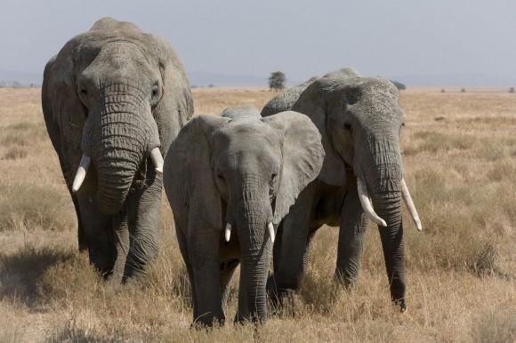 Elefantes africanos (Loxodonta africana) (Imagen: Ikiwaner; fuente: Wikipedia)