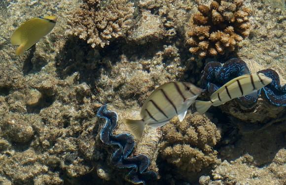 Ejemplares de Tridacna sp. fotografiados por Xurxo Mariño en arrecifes de coral de la Polinesia francesa