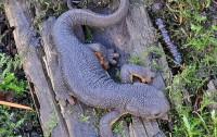 Taricha granulosa (Fuente: Wikipedia)