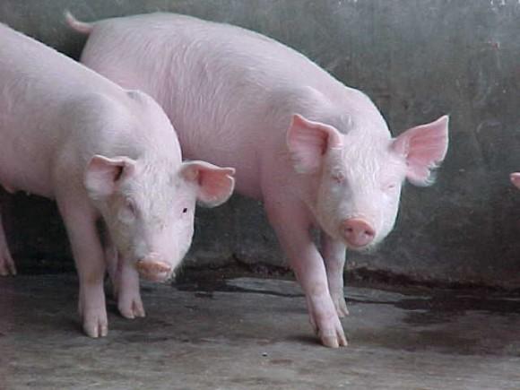 cerdo-3