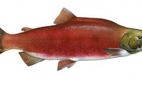 Oncorhynchus nerka (Imagen: Timothy Knepp, US Fish and Wildlife Service; Wikipedia)