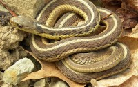 1024px-Thamnophis_sirtalis_sirtalis_Wooster