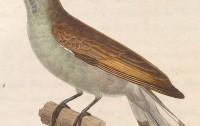 Indicator minor (dibujo de Nicolas Huet le Jeune - Nouveau recueil de planches coloriées d'oiseaux, 1838)