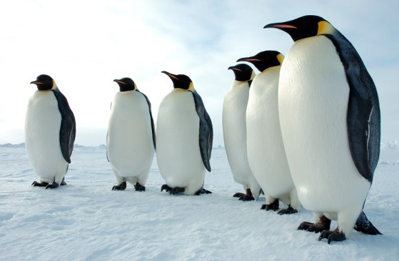Pinguinos emperadores