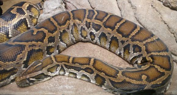 Python molurus (Imagen: Tim Vickers; Wikipedia)