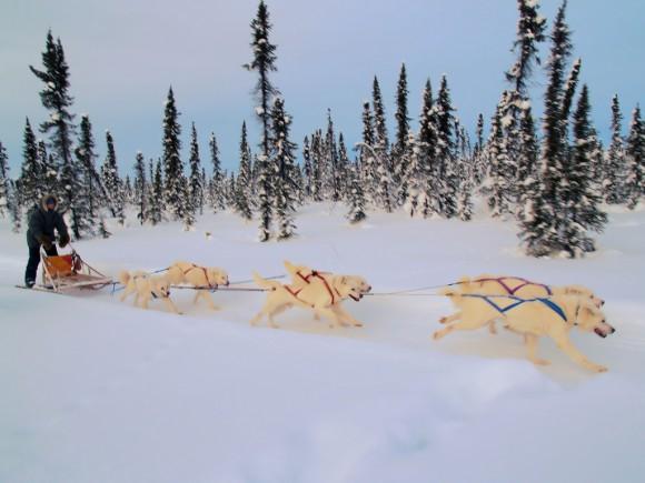 Huskies blancos en Canadá (imagen: Martin Male, Wikipedia)