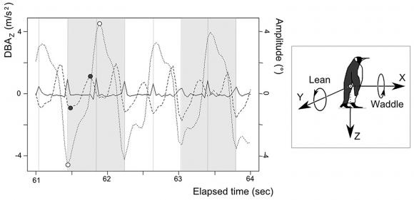 Registros de los desplazamientos del centro de masas de un pingüino caminando por la cinta móvil.