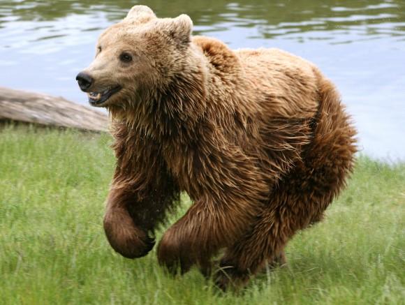 Ursus arctos arctos (oso pardo). Crédito: I. Malene, Wikipedia)