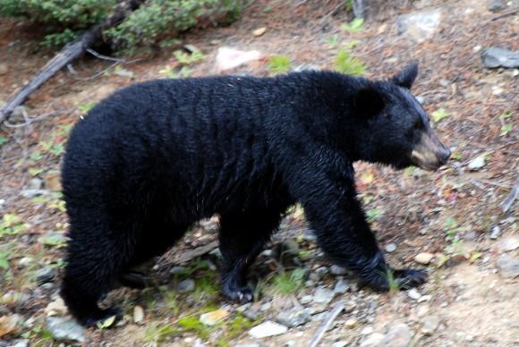 Oso negro (Ursus americanus) (Imagen: H Barrison, Wikipedia)