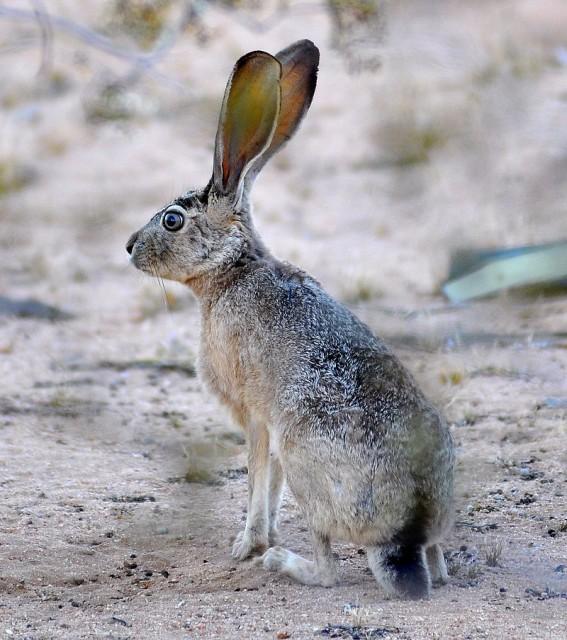 Lepus californicus, con sus grandes orejas (Imagen: Jessie Eastland; Wikipedia)