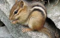 Tamias striatus (imagen: Gilles Gonthier, Wikipedia)