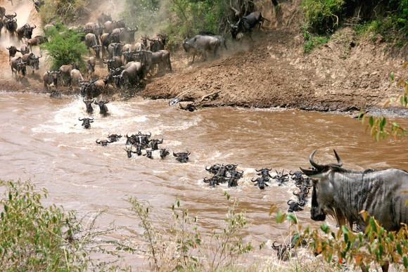 Manada de ñus azules (Connochaetes taurinus) cruza un río durante la migración (Imagen: Eric Inafuku; Wikipedia)
