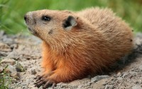 Marmota monax (Imagen: Cephas, Wikipedia)