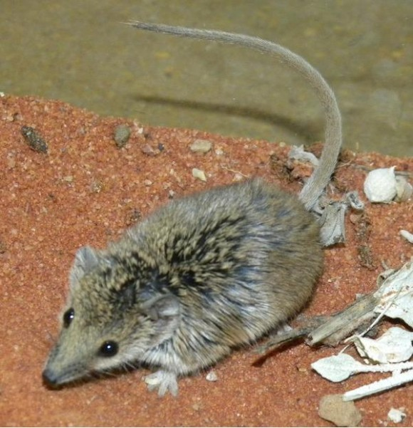 Planigale tenuirostris (Imagen: Alan Couch)
