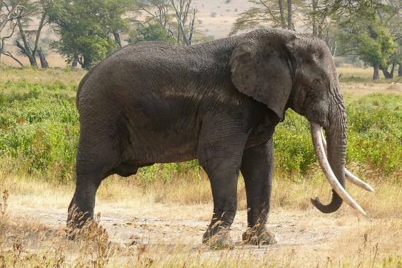 Elefante africano (Imagen: Haplochromis; Wikipedia)