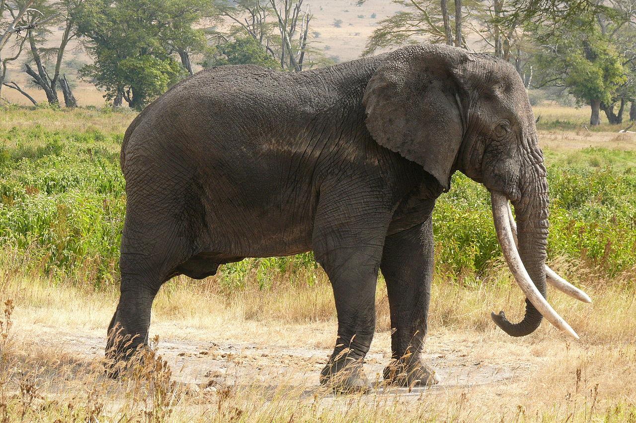 El LSD y el elefante Tusko | General | Zoo Logik