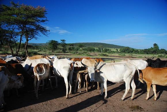 800px-Maasai_cattle,_Kenya
