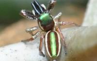 Bagheera kiplingi (Imagen: Maximilian Paradiz, Wikipedia)