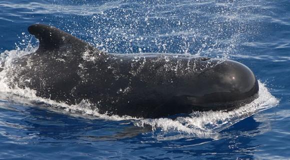 1280px-Pilot_whale