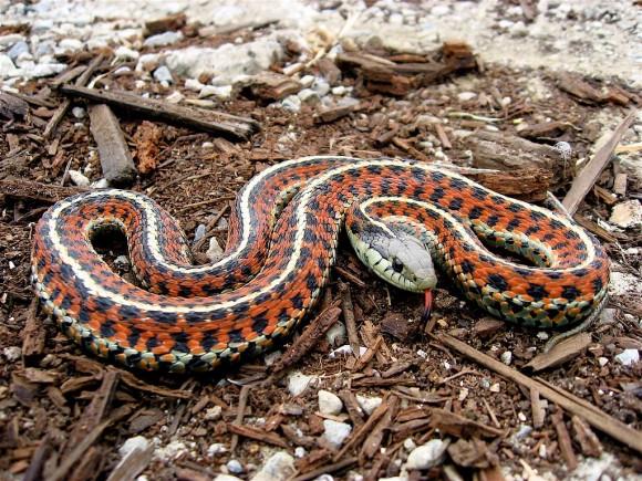 Thamnophis elegans terrestris (Imagen de Stebe Jurvetso, Wikipedia)