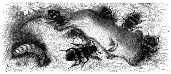 El lado oscuro del escarabajo enterrador