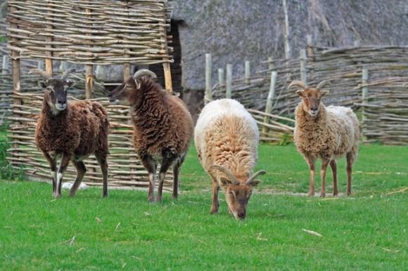 Las ovejas de St Kilda