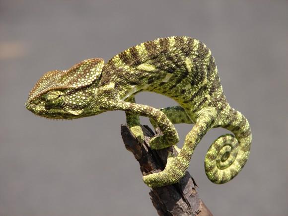 Camaleón indio (Chamaeleo zelyanicus) (Imagen: M. Arunprasad; Wikipedia)