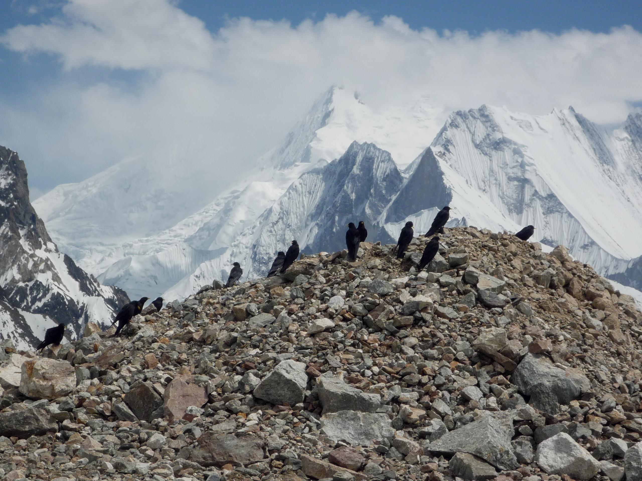 Chovas piquigualdas en el campo base del Broad Peak (Imagen: Ander Izagirre)
