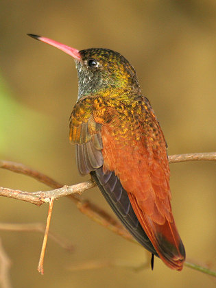Amazilia amazilia, uno de los colibríes que viven en zonas de menor altitud (Fotografía de Su Neko, Wikimedia Commons)