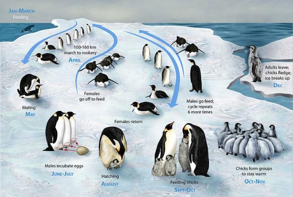 Ciclo de vida del pingüino emperador (Imagen: Zina Deretsky, National Science Foundation)