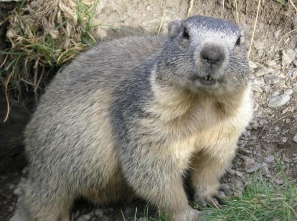 Marmota alpina (Wikipedia)