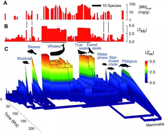 Datos de concentración de mioglobina (A), carga neta (B), y arbol evolutivo de los mamíferos en el que se diferencian, mediante el código de colores, aquellos con una mayor carga superficial neta (C).