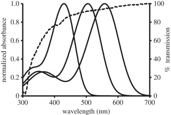 Espectros de absorción de los pigmentos visuales de los conos del hurón. Se observan los cis-picos o bandas ß hacia la izquierda de los espectros.