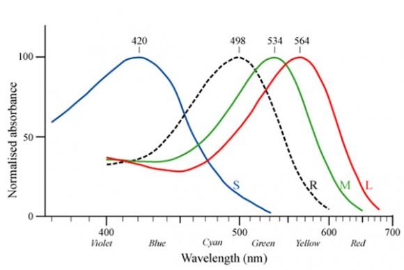 Espectros de absorción de las opsinas (S, M, y L) de los tres conos y de la rodopsina (R) de los batones de la retina humana.