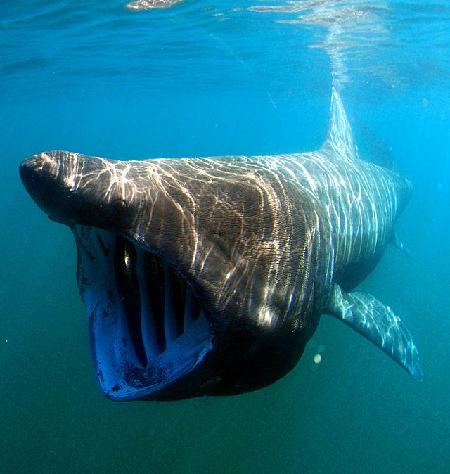 Tiburón peregrino (Fuente: Wikipedia)