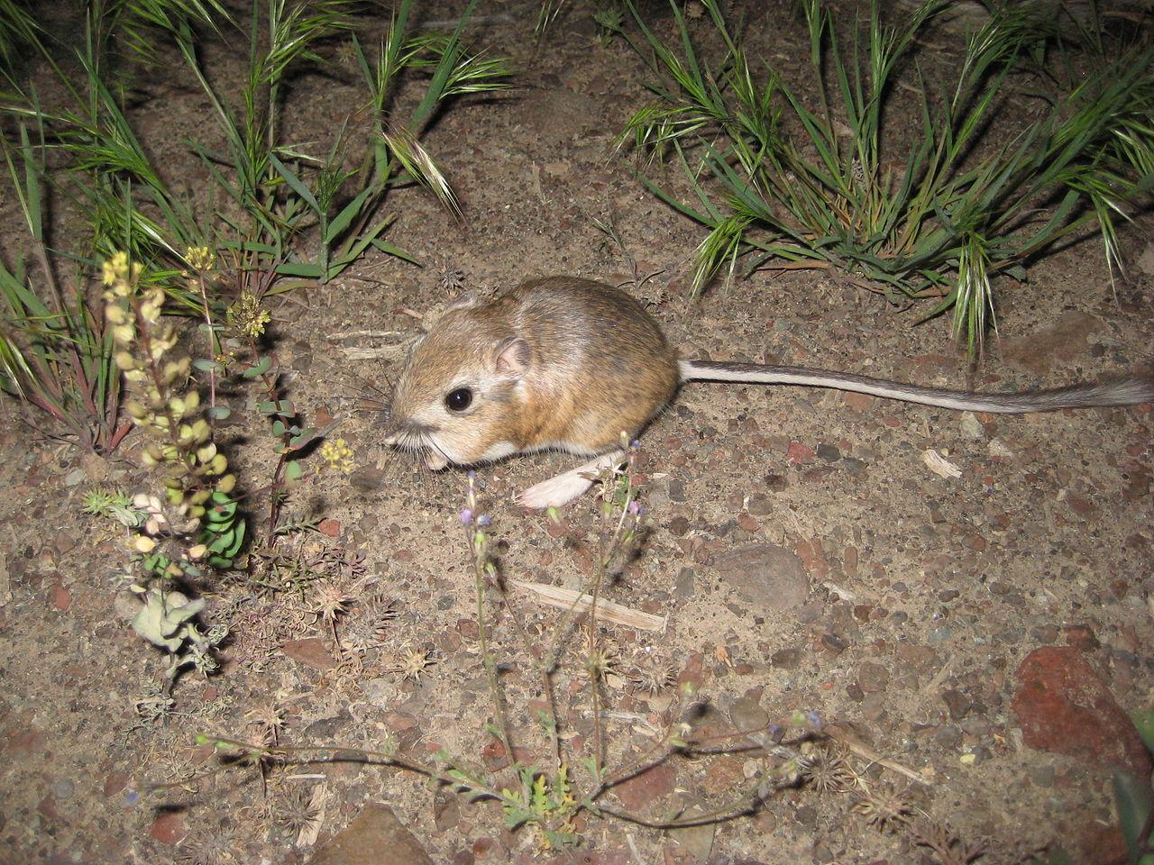 La rata canguro no necesita beber | General | Zoo Logik