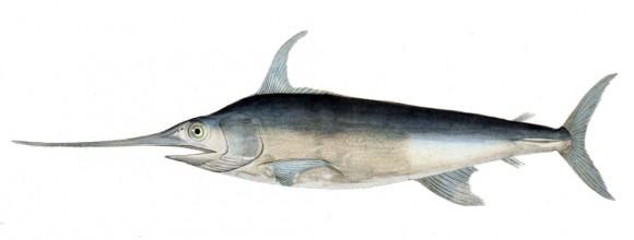 Xiphias gladius (imagen: wikipedia)