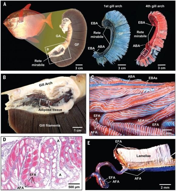 Detalles anatómicos y microanatómicos de la red maravillosa en el arco branquial del pez luna real