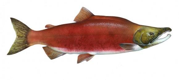 Oncorhynchus nerka (Imagen: Timothy Knepp, US Fish and Wildlife Service; Wikipedia)