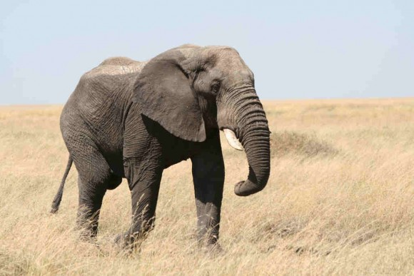 Loxodonta africana (Serengeti) (Fuente: Wikipedia)