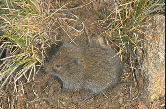 Microtus montanus (Crédito: Roger W. Barbour; Smithsonian National Museum of Natural History)