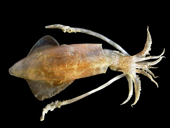 Loligo vulgaris (imagen: Hans Hillewaert)